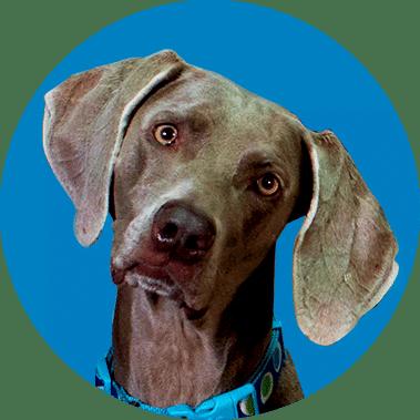 Weimaraner dog face